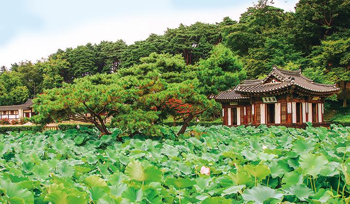 선교장 입구의 연못에 연꽃잎이 무성하다